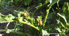 Larvas del escarabajo de la patata