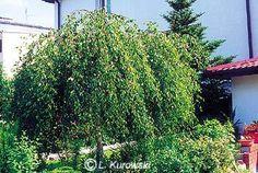 ООО «Сибирская академия деревьев и кустарников» :: Главная :: Каталог :: Лиственные деревья :: Береза :: Береза повислая :: Береза повислая Youngii