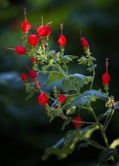Turk's cap, a hummingbird draw, blooms in sun and shade. Dallas garden