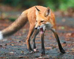 Photograph byg2pix. What doesthis fox say, do you think?