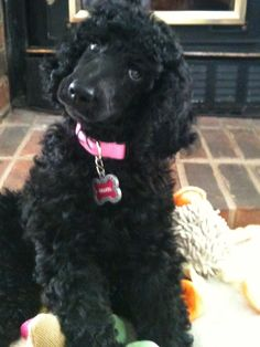 """Puppy Chanel: """"I had the poodle head tilt down at 8 weeks!"""""""