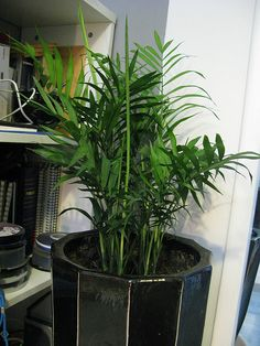 Growing Areca Palm: Care Of Areca Palms Indoors areca-palm-plant Areca Palm Care, Areca Palm Plant, Garden Plants, House Plants, Balcony Gardening, Indoor Gardening, Apartment Gardening, Flower Gardening, Garden Bed