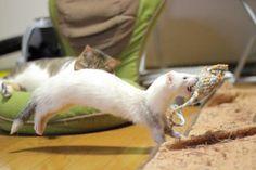 Run ferret run! 535 Likes, 16 Comments - あずみの ( Baby Ferrets, Pet Ferret, Cute Ferrets, Animals And Pets, Baby Animals, Cute Animals, Animal Magic, My Animal, Animaux