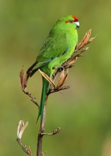novaezelandiae: both adults red forehead, crown, band from lores to behind eyes and patch on each side of rump Exotic Birds, Colorful Birds, Love Birds, Beautiful Birds, Forest Friends, Budgies, Flora And Fauna, Parakeet, Weird And Wonderful