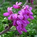 CERCIS OCCIDENTALIS - Western Redbud, $2.99