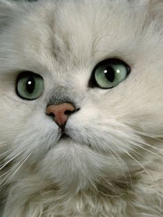 Chinchilla Persian ... awwww cute