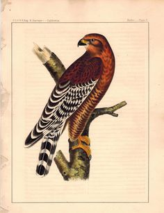 Red-shouldered Hawk - Plate II - 1859 Antique Hand Colored Print Plate 2. Issue: Reports of Explorations and Surveys Volume X. Washington D.C. A.O.P. Nicholson Printer 1859. [From the Mississippi Rive