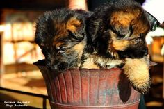"""GSD Puppies: """"Hey, who's the wise guy that put us in this flower pot?"""" You've gotta be kiddin' us...right?"""""""