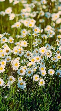Gowans - the Scottish daisy. Gowanlea means daisy meadow. One dayI would like our garden full of these Happy Flowers, White Flowers, Beautiful Flowers, Exotic Flowers, Yellow Roses, Fresh Flowers, Purple Flowers, Pink Roses, Daisy Love