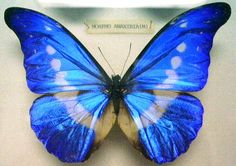 butterflies pictures - Here is a beautiful blue!  A blue dress with black trim, would be interesting!