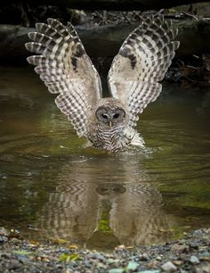 Barred owl by larry tibbet on 500px