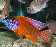 (1) Roja Alemana De Pavo Real Aulonocara Africana Cíclidos 1.5 Pulgadas peces vivos