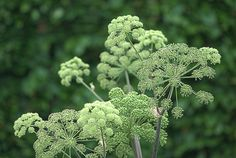 Angelica gigas. A great umbellifer for planting with more dramatic coloured flowers like irises or peonies. For more on using colors effectively in planting design - check this out: http://www.my-garden-school.com/course/designing-with-plants/