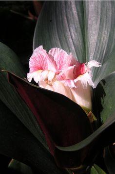 Costus erythrophyllus 'Rubra' - 180mm pot