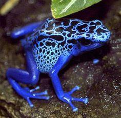Ze zien er misschien mooi uit, maar wanneer je deze kikker tegenkomt in Zuid- of Midden-Amerika, pak 'm dan zeker niet op. Deze kikker van 5cm heeft genoeg gif om 10 mensen (of 20.000 muizen) te vermoorden.
