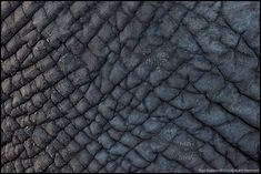 Elephant skin evolution, excess heat can escape through a greater surface area.