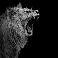 Lion In Black & White I by Lukas Holas is printed with premium inks for brilliant color and then hand-stretched over museum quality stretcher bars. Money Back Guarantee AND Free Return Shipping. Lion Pictures, Funny Animal Pictures, Baby Animals, Funny Animals, Cute Animals, Wild Animal Wallpaper, Black And White Lion, Lion Photography, Tier Wallpaper