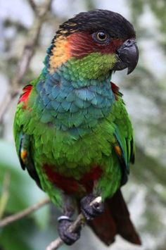 Blue-throated or Red-eared Conure, Ochre-marked or Blue-throated Parakeet  Brazil