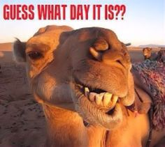 This still cracks me up! Guess what day it is quotes quote days of the week wednesday hump day hump day camel wednesday quotes happy wednesday wednesday morning Smiling Animals, Happy Animals, Funny Animals, Cute Animals, Laughing Animals, Alpacas, Camel Tow, Wednesday Hump Day, Wednesday Humor
