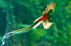 El Quetzal, the national bird of Guatemala and sacred to the Maya, foto por Thorn Janson (via TACA Regional)
