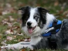 Fitting your dog agility harness to your agility dog.  These custom dog harnesses allow you to put custom patches on them!
