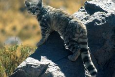 The Andean Mountain Cat is rarely seen, as its habitat is restricted to the mountains of Bolivia, Peru, Argentina, and Chile at altitudes above the tree line. The total estimated population is only about 2500. This cat grows to only about two feet in length, barely larger than a house cat, with a long bushy tail that may provide a useful counterweight for maneuvering around mountains. There are none in captivity. (See source below).