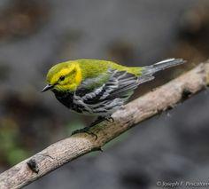 Black-throated Green Warbler (Setophaga sirens) - Central Park, New York
