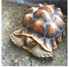 The African Spurred Tortoise also called the Sulcata Tortoise, is a species of Tortoise, which inhabits the Southern edge of the Sahara Desert, in Northern Africa. Tortoise Food, Sulcata Tortoise, Tortoise Care, Giant Tortoise, Tortoise Turtle, Russian Tortoise, Turtle Love, Tier Fotos, Reptiles And Amphibians