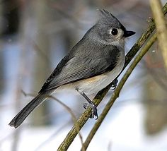Tufted - Titmouse 6