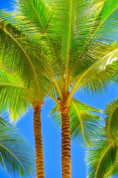 so vibrant! palm tree, color, sunny days, front yards, blue skies, at the beach, trees, beauti, palms