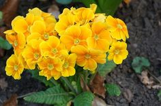 Bright yellow Primroses and a great post with tips for healthy kidneys. Read more.