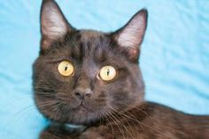 Reno is a gorgeous young cat, only 11 months old (3/12) with a classy, smoky black coat. He came to us as a stray, and we cant wait to introduce him to someone who will fall in love with him. Visit Reno in the Cat Room at the Dearborn Animal Shelter