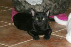 BEATLE - Gato adoptado - AsoKa el Grande