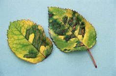 Jardim da Terra: COMO CULTIVAR: Praga de roseiras Plant Pathology, Downy, Plantar, Plant Leaves, Terra, Flowers, Gardening, Gardening Tips, Rose Trees