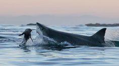 FAST FOOD. Sale temps pour les phoques. Dès que la nuit commence à tomber sur les eaux sombres de False Bay, en Afrique du Sud, les grands requins blancs décident de passer à table. Et c'est peu dire qu'ils ont les crocs... Au menu en cette saison: du phoque, encore du phoque, toujours du phoque! Tant mieux pour les requins, qui en raffolent. Tant pis pour les mammifères marins, qui vont payer un lourd tribut aux prédateurs. La tactique des requins est invariable. Tapis sous quelques…