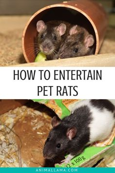 Rats, being such curious creatures, can get bored quite easily. It is our job as rat owners to make sure they have something fun and entertaining to do throughout the day. If you're wondering how to entertain pet rats, we have 7 fun entertainment ideas for you to try. #rats #pets #ratcare #petcare