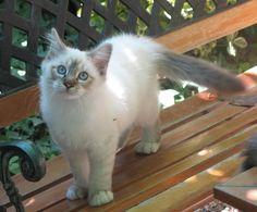 gatos siameses - Buscar con Google