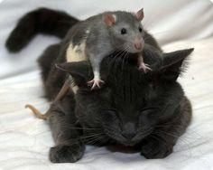 chat noir avec une souris sur la tête