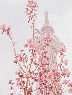東京鐵塔下的櫻花燦爛!
