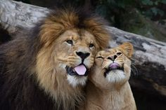 🍍🍍🍍, Look at the incredible, heartbreaking emotion on. Animals And Pets, Funny Animals, Cute Animals, Beautiful Cats, Animals Beautiful, Lion Couple, Lion Family, Lions Photos, Lion And Lioness