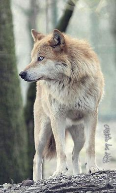 Beautiful Wolf with white eyes