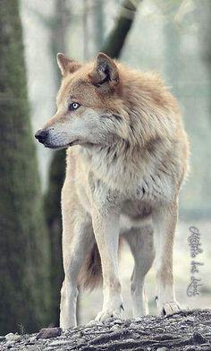 een van de wolven die het paleis en de kamer van thale bewaken