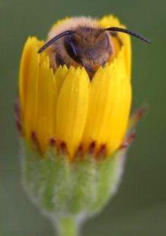 Bee Hiding in Flower