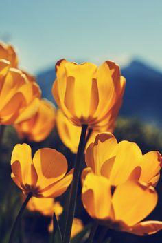 Tulips in Norway