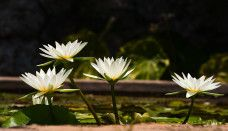 On the of June in the village of Malak Preslavets near Silistra will be held Water Lily Feast. Travel News, Water Lilies, Flower Wallpaper, White Flowers, Dandelion, Places To Visit, Lily, White Lilies, Wall Papers