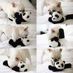 Theo vs Panda 🐶🐼 @theobonaparte . . . #frenchie #frenchieoftheday #französischebulldogge #franskbulldog #frenchbull #fransebulldog #frenchbulldog #frenchiepuppy #dog #dogsofinstagram #petstagram #puppy #puppylove #bully #bulldog #bullyinstafeature #bulldogfrances #フレンチブルドッグ #フレンチブルドッグ #フレブル #ワンコ #frenchyfanatics #frenchiesgram #frenchbulldogsofinstagram #frenchiesoverload #ilovemyfrenchie #batpig #buhi #squishyfacecrew