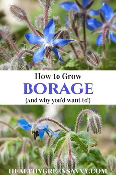 Borage plant is easy to grow, attracts pollinators like crazy, is tolerant of poor soils and neglect, and can be used as a vegetable and medicinal herb, while the flowers make a stunning edible garnish. Much to recommend! #borage #ediblelandscaping #medicinalherbs #herbalmedicine #ediblegardening #gardeningideas #borageplant #borageflowers #edibleflowers #growingherbs