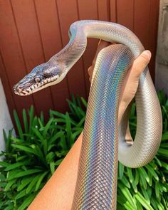 on't know about you but we LOVE snakes 🥺🖤🐍 Scarlet the Southern white lipped python (Bothrochilus meridionalis) and . Pretty Snakes, Cool Snakes, Beautiful Snakes, Colorful Snakes, Les Reptiles, Cute Reptiles, Reptiles And Amphibians, Cute Little Animals, Baby Animals