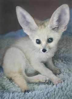 Baby Fennec Fox. Isn't this little guy/girl ADORABLE?! I definitely want one :)