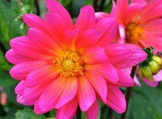 DahliaKarmaFuchsiana2vn Pink Perennials, Plants, Plant, Planets